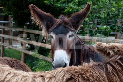 Rare Poitou Donkeys Stock Photo