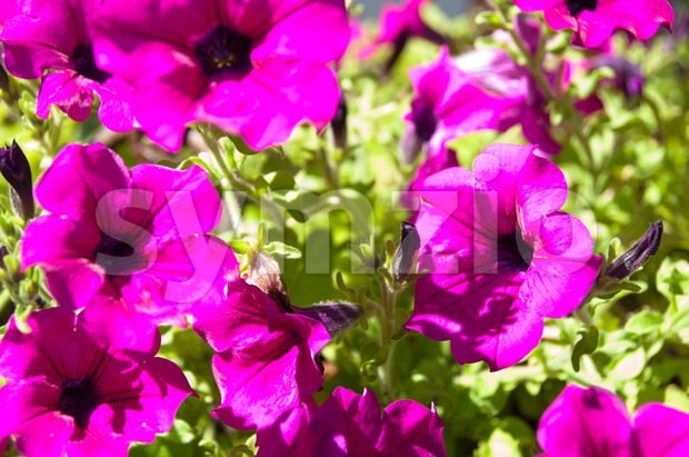 Petunia Surfinia Bush - Pink Vein Stock Photo